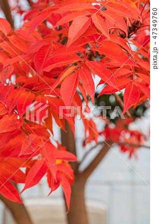 ハゼノキの紅葉 47349760