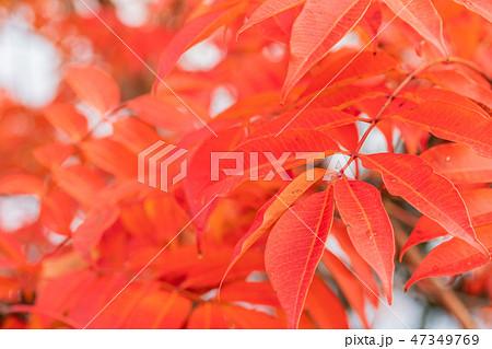 ハゼノキの紅葉 47349769