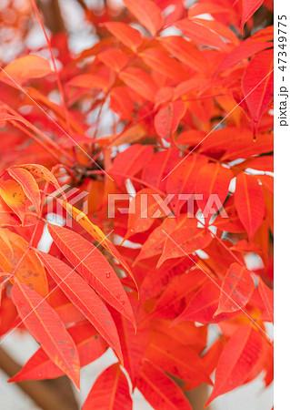 ハゼノキの紅葉 47349775