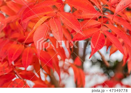 ハゼノキの紅葉 47349778
