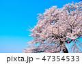 桜 春 染井吉野の写真 47354533