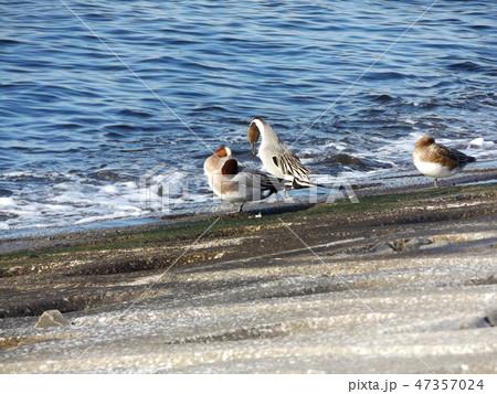 検見川浜の護岸のヒドリガモとオナガガモ 47357024