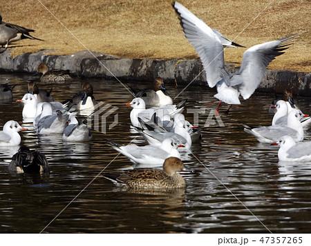 稲毛海浜公園に飛来した渡り鳥のユリカモメ 47357265