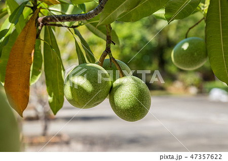 Ambarella fruit on the tree. Spondias dulcis. 47357622