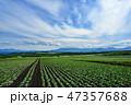 嬬恋村 キャベツ 畑の写真 47357688