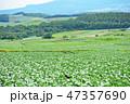 日本 嬬恋村 キャベツの写真 47357690