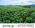 嬬恋村 キャベツ 畑の写真 47357692