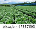 日本 嬬恋村 高原キャベツの写真 47357693