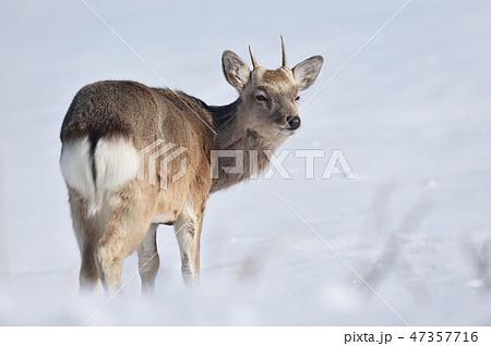 雪原で振り向く若いオスのエゾシカ(北海道) 47357716