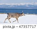 野付半島を歩く若いオスのエゾシカ(北海道) 47357717