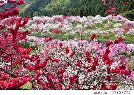 長野県阿智村 桃源郷 満開の「花桃の里」 47357775