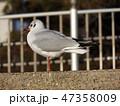 冬 白色 灰色の写真 47358009