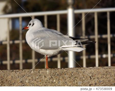 検見川浜に飛来した渡り鳥のユリカモメ 47358009