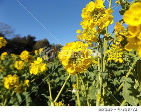 12月に咲き始めた早咲きナバナ 47358772