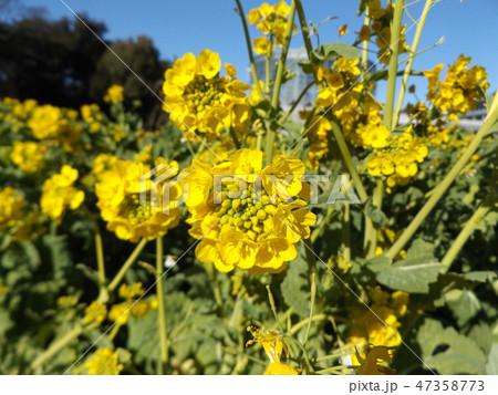 12月に咲き始めた早咲きナバナ 47358773