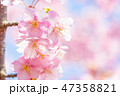 河津桜 花 春の写真 47358821