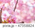 河津桜 花 春の写真 47358824
