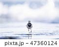 岩 鳥 歩くの写真 47360124