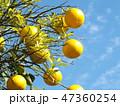 黄色く熟した夏みかん 47360254