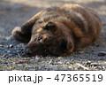甲斐犬 47365519