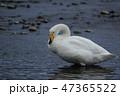白鳥 47365522
