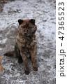 甲斐犬 47365523