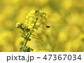 菜の花 蜂 春の写真 47367034