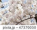 桜 花 春の写真 47370030