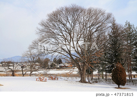 冬の大きな栗の木 47371815