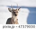 エゾシカ 冬 オスの写真 47379030