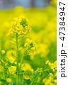 菜の花 花 菜の花畑の写真 47384947