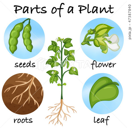 Parts of a plant 47387840