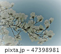 青空が背景で下から見上げたイラスト風のモクレンの枝 47398981