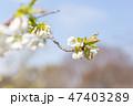 桜 花 蕾の写真 47403289