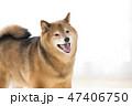 笑顔の柴犬 47406750