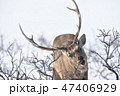 エゾシカ 冬 オスの写真 47406929