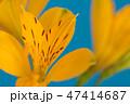 花 アルストロメリア 黄色の写真 47414687