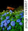 三室戸寺 紫陽花 夜の写真 47418857