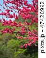 桃 桃の花 春の写真 47420992