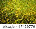 植物 花 レンギョウの写真 47429779