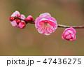 梅 花 紅梅の写真 47436275