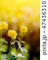 Globe-flower or Trollius europaeus in the field  47436310