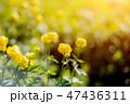 Globe-flower or Trollius europaeus in the field  47436311