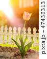 One pink tulip flower in garden decoration home  47436313