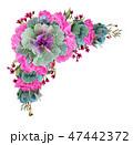 ケール 葉牡丹 ハボタンの写真 47442372