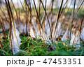 シモバシラの氷柱 47453351