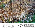 シモバシラの氷柱 47453353