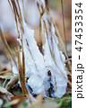 シモバシラの氷柱 47453354