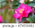 山茶花 47453481