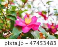 山茶花 47453483
